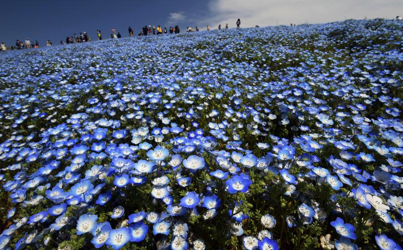 茨城县蓝色紫阳花迎来最佳观赏时期