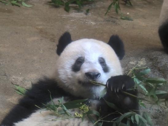 """日本上野动物园的熊猫命名""""香香""""以来刚好一年 1000人获得门票 ... ..."""