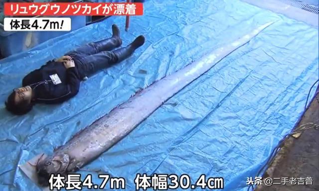地震前兆?日本现近5米长深海巨鱼