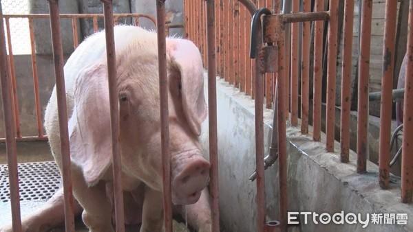 26年来首次!日本琦玉县爆「典型猪瘟」 扑杀678头猪